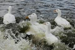 www drůbež_Svaz chovatelů drůbeže kachna RITO 02