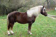 Českomoravský belgik - autor: Asociace svazů chovatelů koní