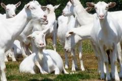 koza krátkosrstá bílá - autor: Pikousová Jitka