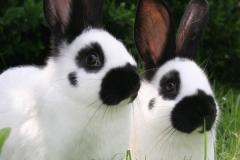 králík - český strakáč - autor: Svaz chovatelů