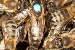 včela kraňská - autor: Veronika Souralova